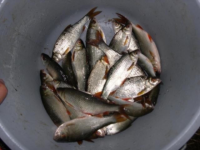 pêche du gardon à l'anglaise