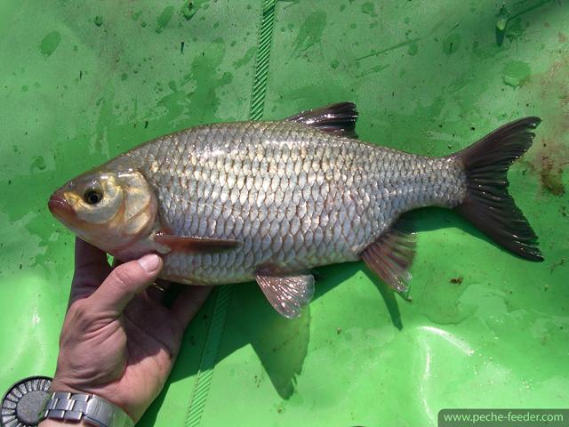 Rotengle péché au feeder au lac de Pareloup 1,6kg
