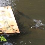 Sauvegarde des Gardons de la rivière Avon Hampshire