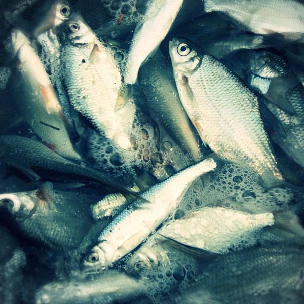 La pêche des petits poissons au feeder