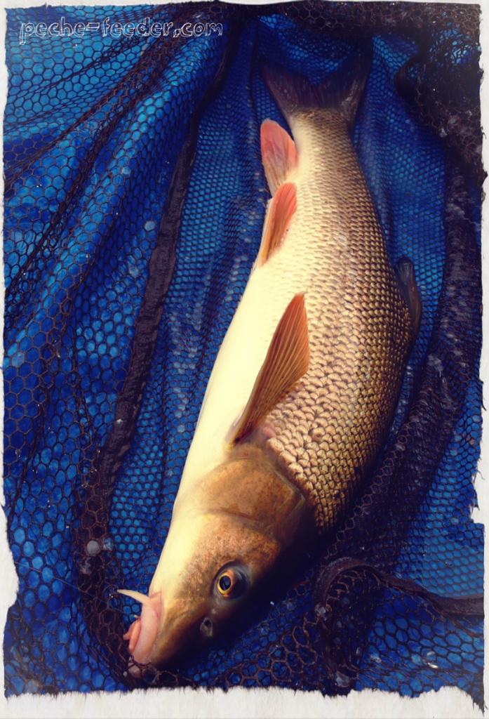 barbeau-feeder-riviere24-effet