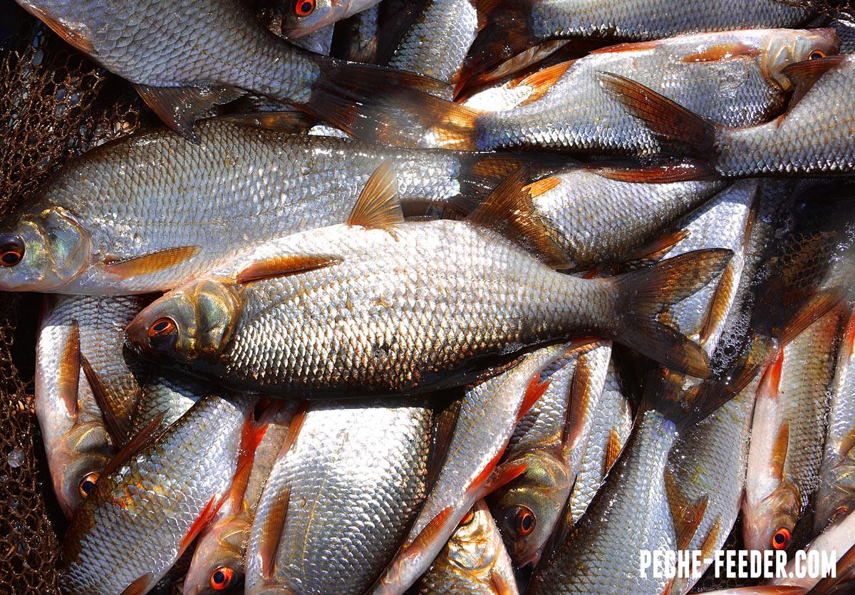 shanon-river-ireland-roach-fisinhg