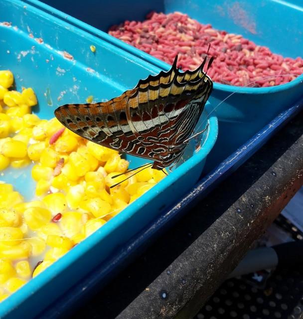 sweet-corn-bait-tech