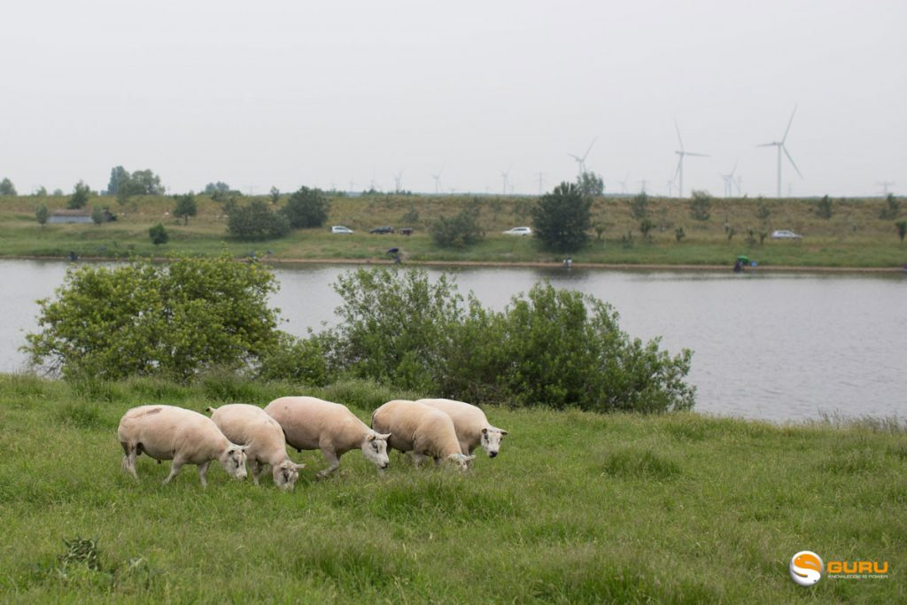 moutons-au-bord-de-leau-spuiboezem-pays-bas