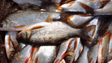 Photo of Mes amorces à gardons pour la pêche au coup
