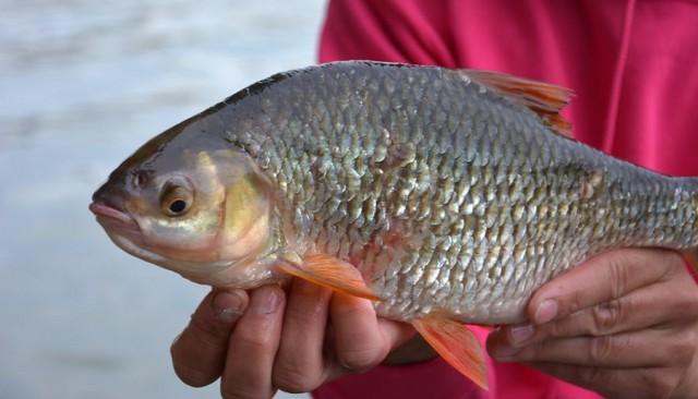 gros-gardons-feeder-fishing