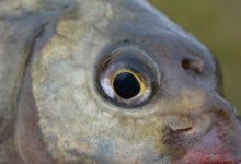 Photo de Montage spécial de ligne pour la pêche au coup de la brème en eaux calmes
